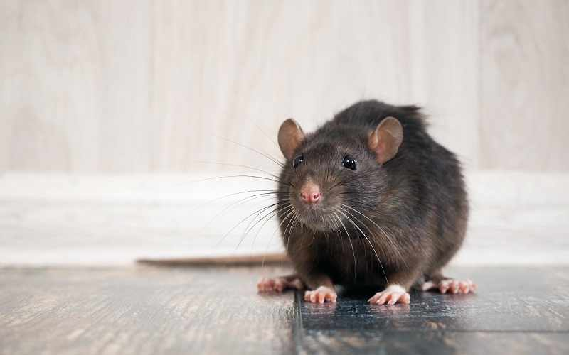 5 Kinds of Rodents You Don't Want in or Around Your Home